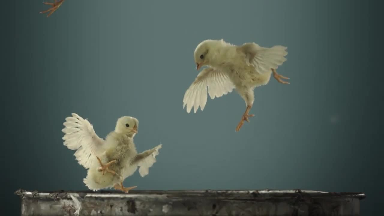 Музыка и видеоролик из рекламы Peta - Little Chicks Take Their First Flight